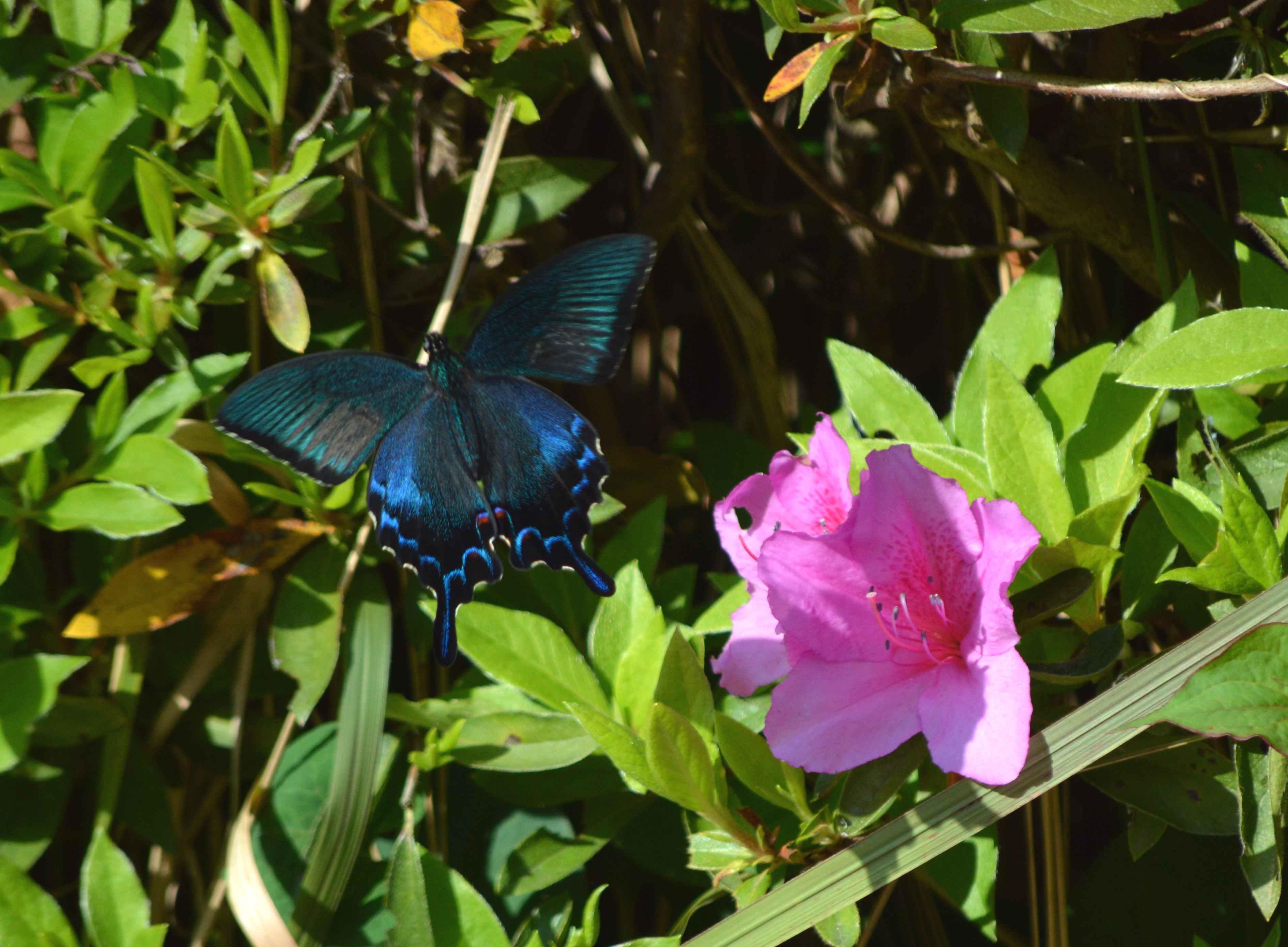 カラスアゲハ 5月2日ツツジの咲く公園にて_d0254540_19552527.jpg