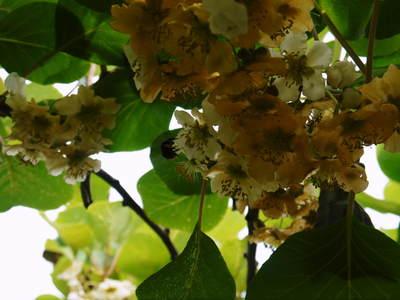 水源キウイ 2021年の開花!例年より10日以上も早い開花でした!(後編:雄花と雌花&交配のお話し) _a0254656_1835454.jpg