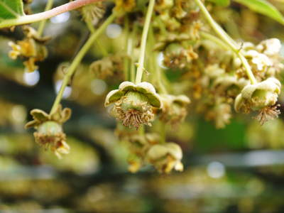 水源キウイ 2021年の開花!例年より10日以上も早い開花でした!(後編:雄花と雌花&交配のお話し) _a0254656_1928792.jpg