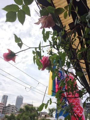 薔薇と鯉のぼり⁉︎_e0086864_8304745.jpg