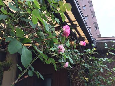 薔薇と鯉のぼり⁉︎_e0086864_8304973.jpg