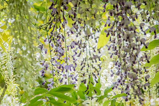 奈良萬葉植物園の藤_f0143469_16561569.jpg