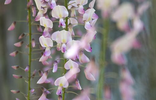 奈良萬葉植物園の藤_f0143469_16563849.jpg