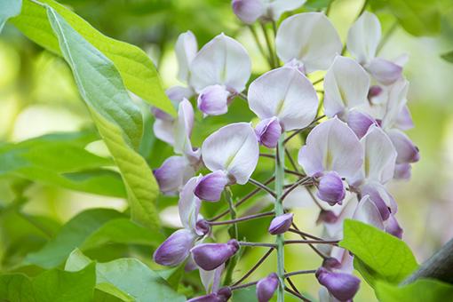 奈良萬葉植物園の藤_f0143469_16565653.jpg
