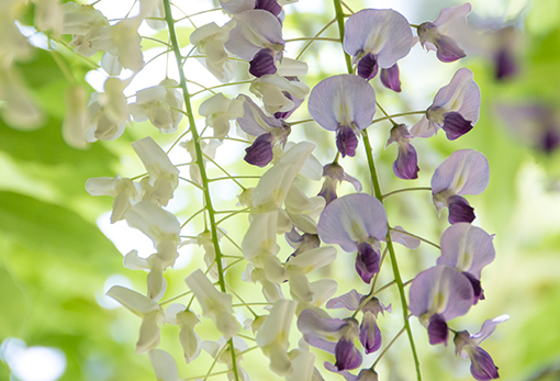 奈良萬葉植物園の藤_f0143469_16571825.jpg