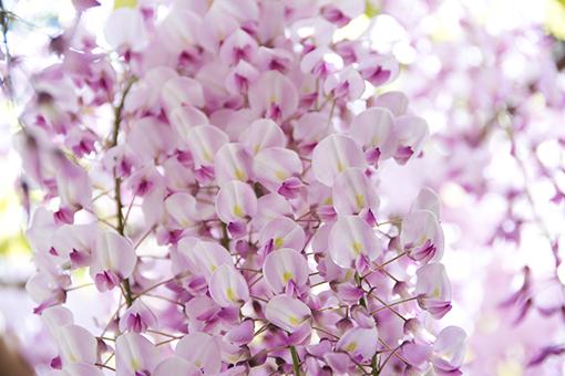 奈良萬葉植物園の藤_f0143469_16575065.jpg
