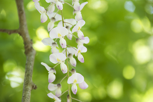 奈良萬葉植物園の藤_f0143469_16584036.jpg