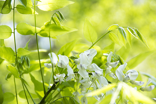 奈良萬葉植物園の藤_f0143469_1658518.jpg