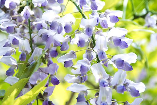 奈良萬葉植物園の藤_f0143469_16585795.jpg