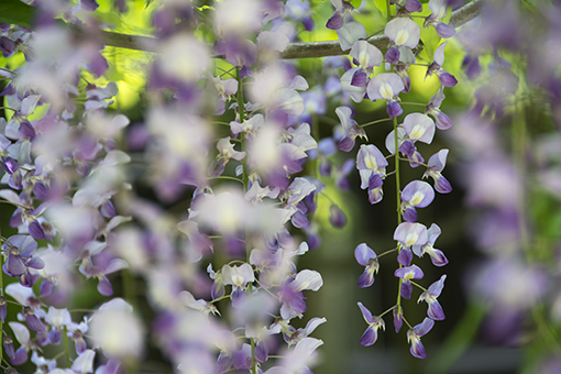 奈良萬葉植物園の藤_f0143469_16593513.jpg