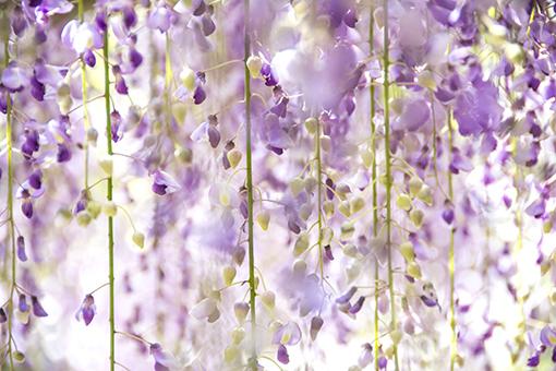 奈良萬葉植物園の藤_f0143469_16594718.jpg