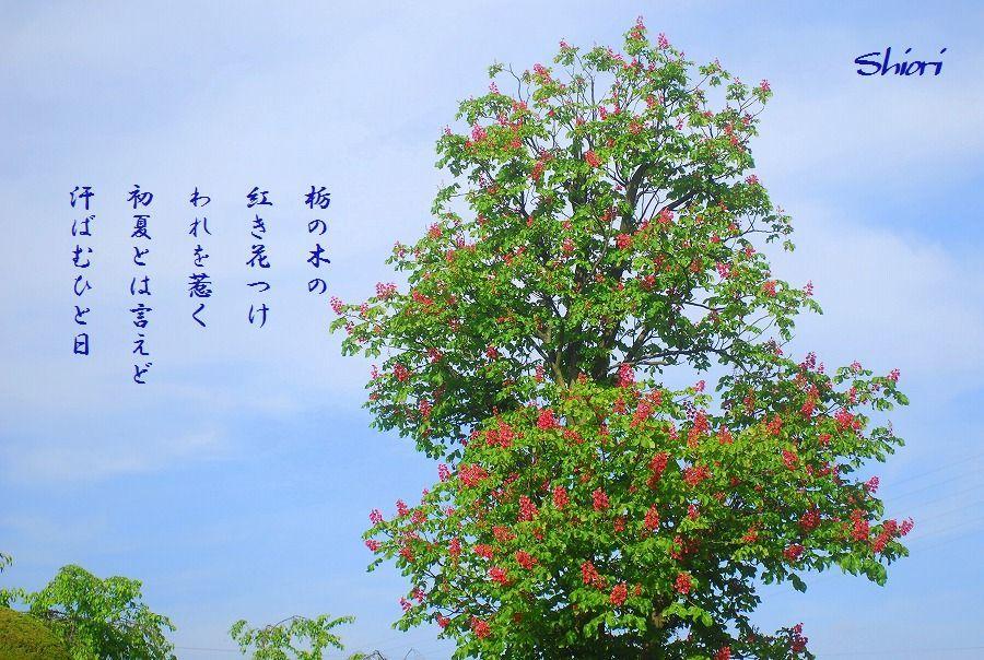 紅花栃の木_c0187781_01114789.jpg
