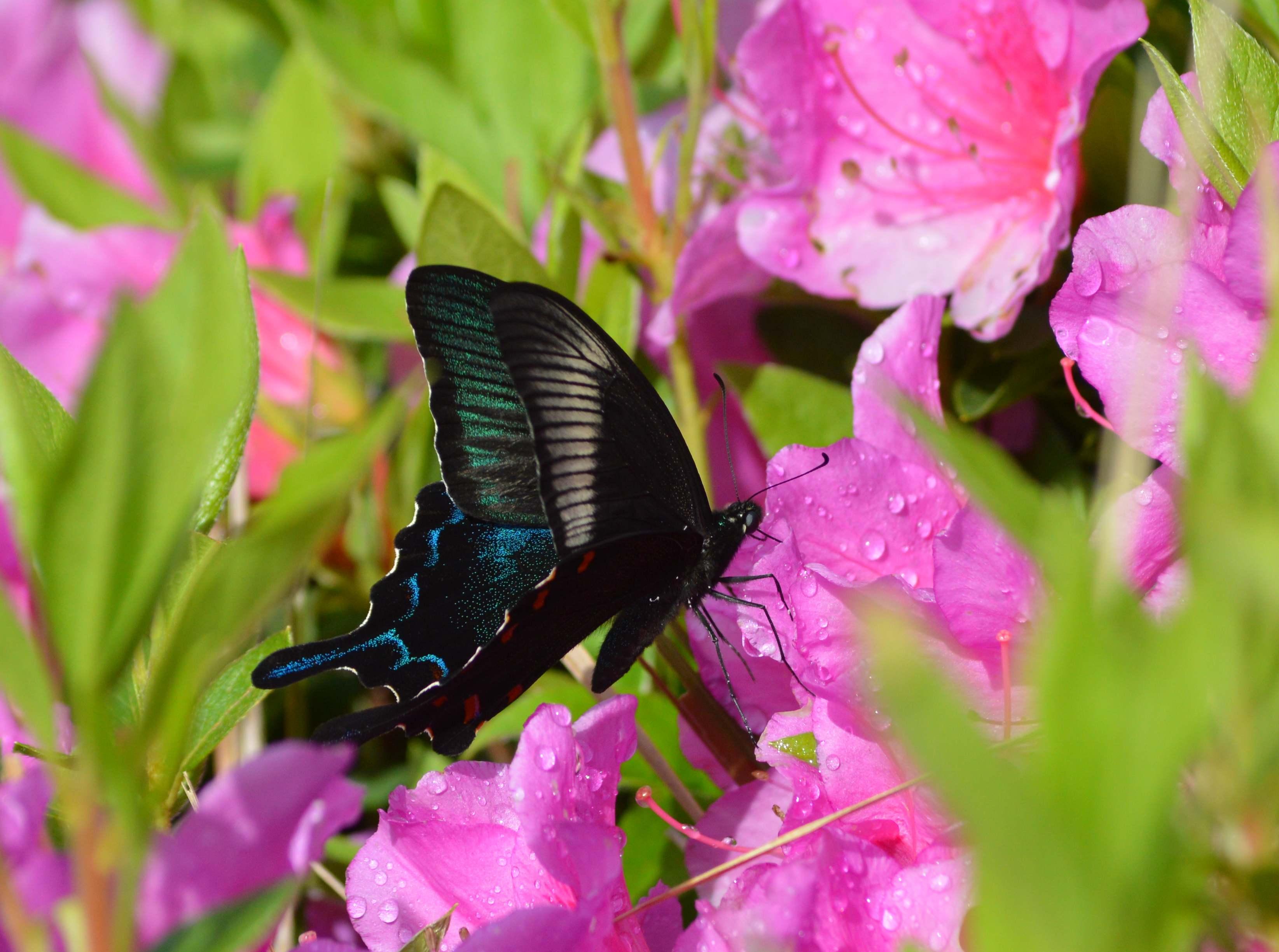 カラスアゲハ 5月2日ツツジの咲く公園にて_d0254540_15235167.jpg