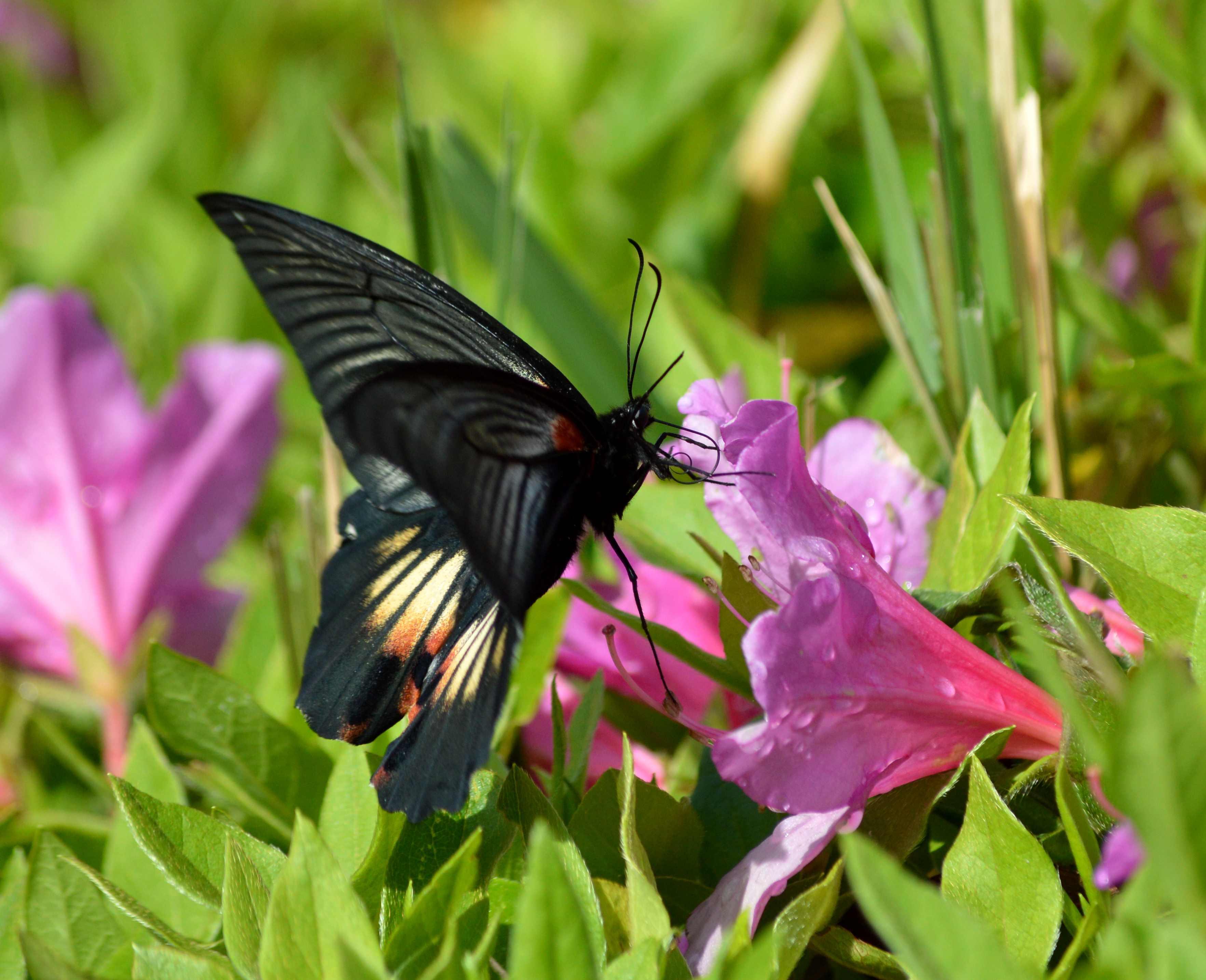ナガサキアゲハ 5月2日ツツジの咲く公園にて_d0254540_17102458.jpg