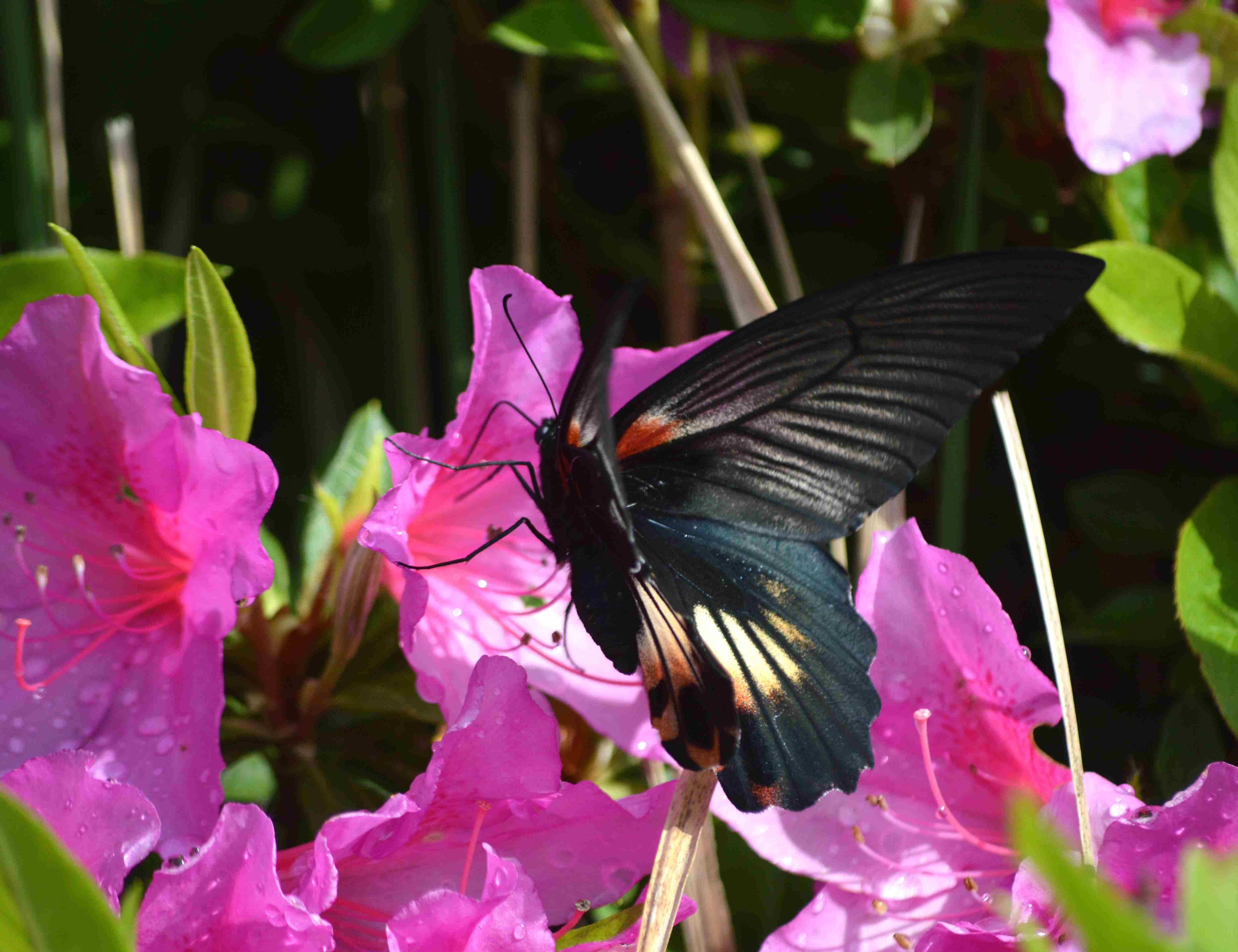 ナガサキアゲハ 5月2日ツツジの咲く公園にて_d0254540_1710960.jpg