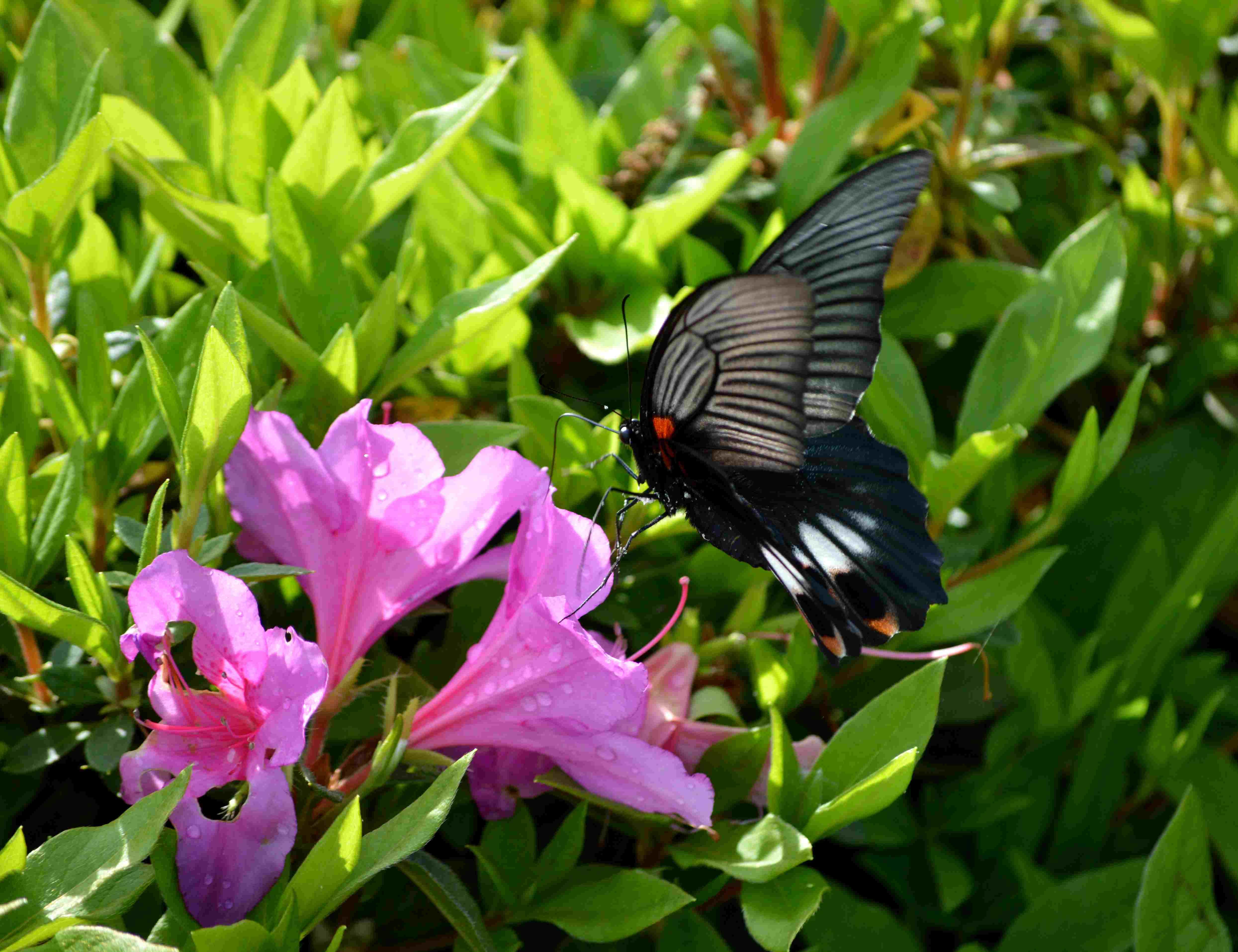 ナガサキアゲハ 5月2日ツツジの咲く公園にて_d0254540_17161118.jpg