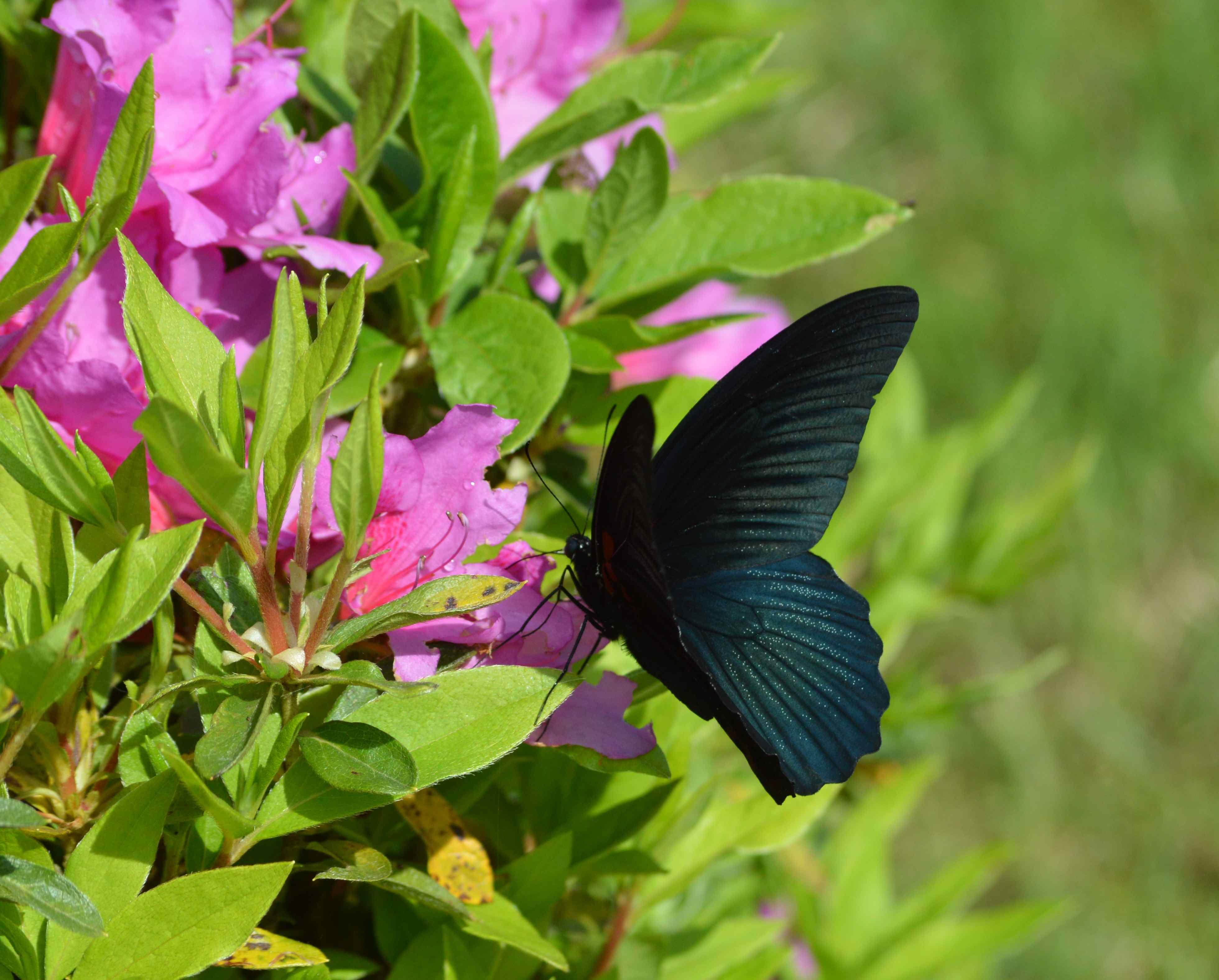 ナガサキアゲハ 5月2日ツツジの咲く公園にて_d0254540_17224876.jpg