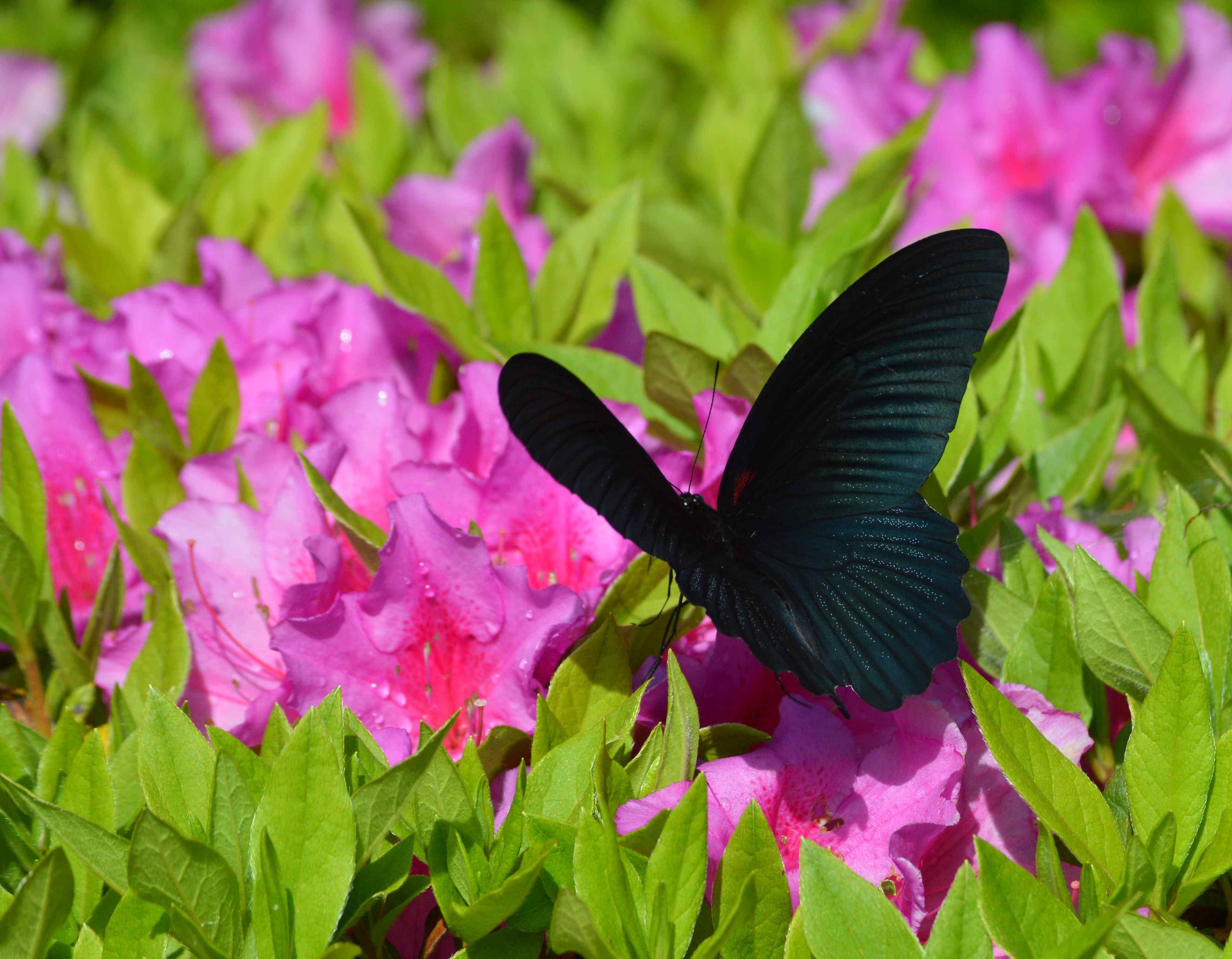 ナガサキアゲハ 5月2日ツツジの咲く公園にて_d0254540_17231596.jpg