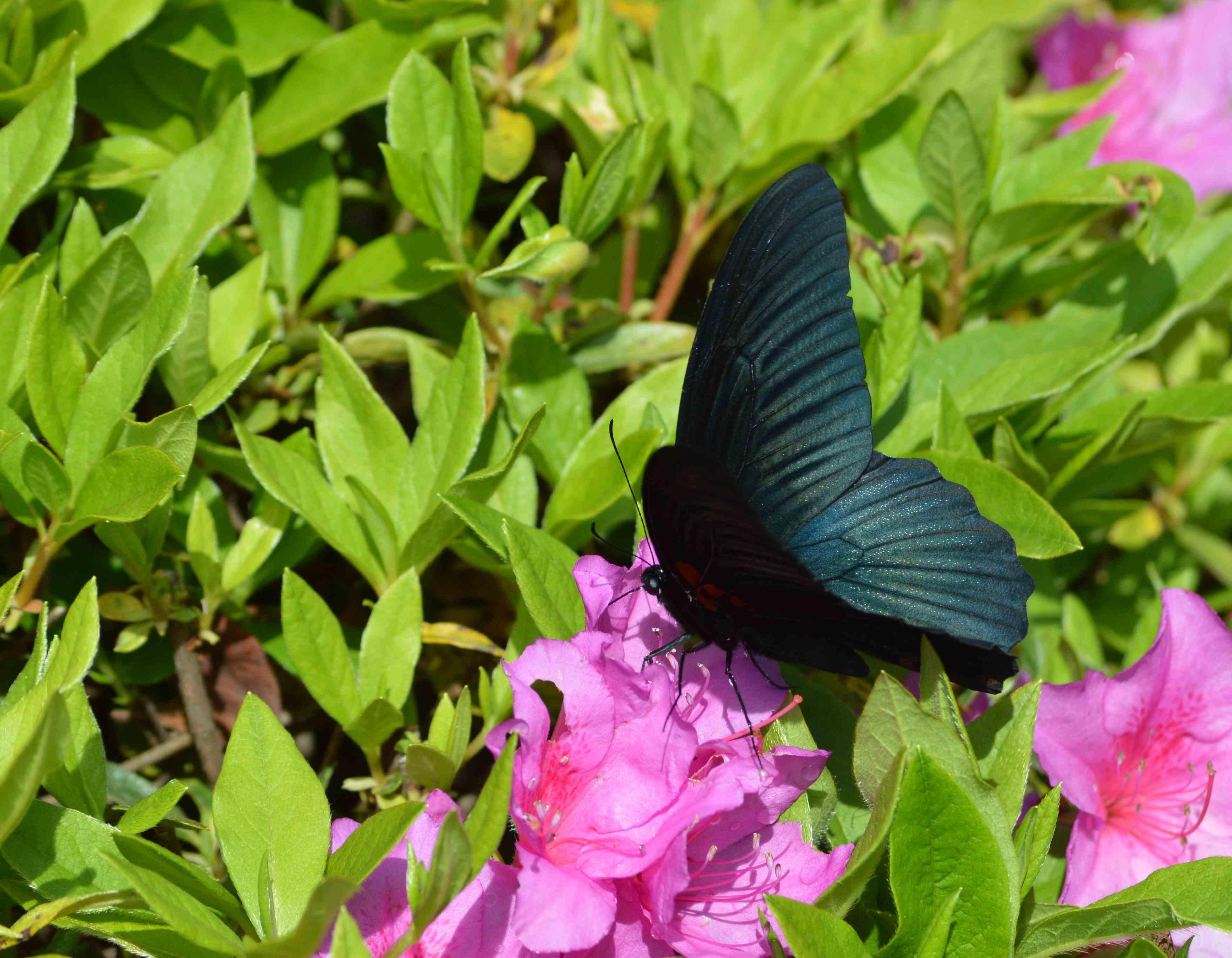 ナガサキアゲハ 5月2日ツツジの咲く公園にて_d0254540_1723756.jpg