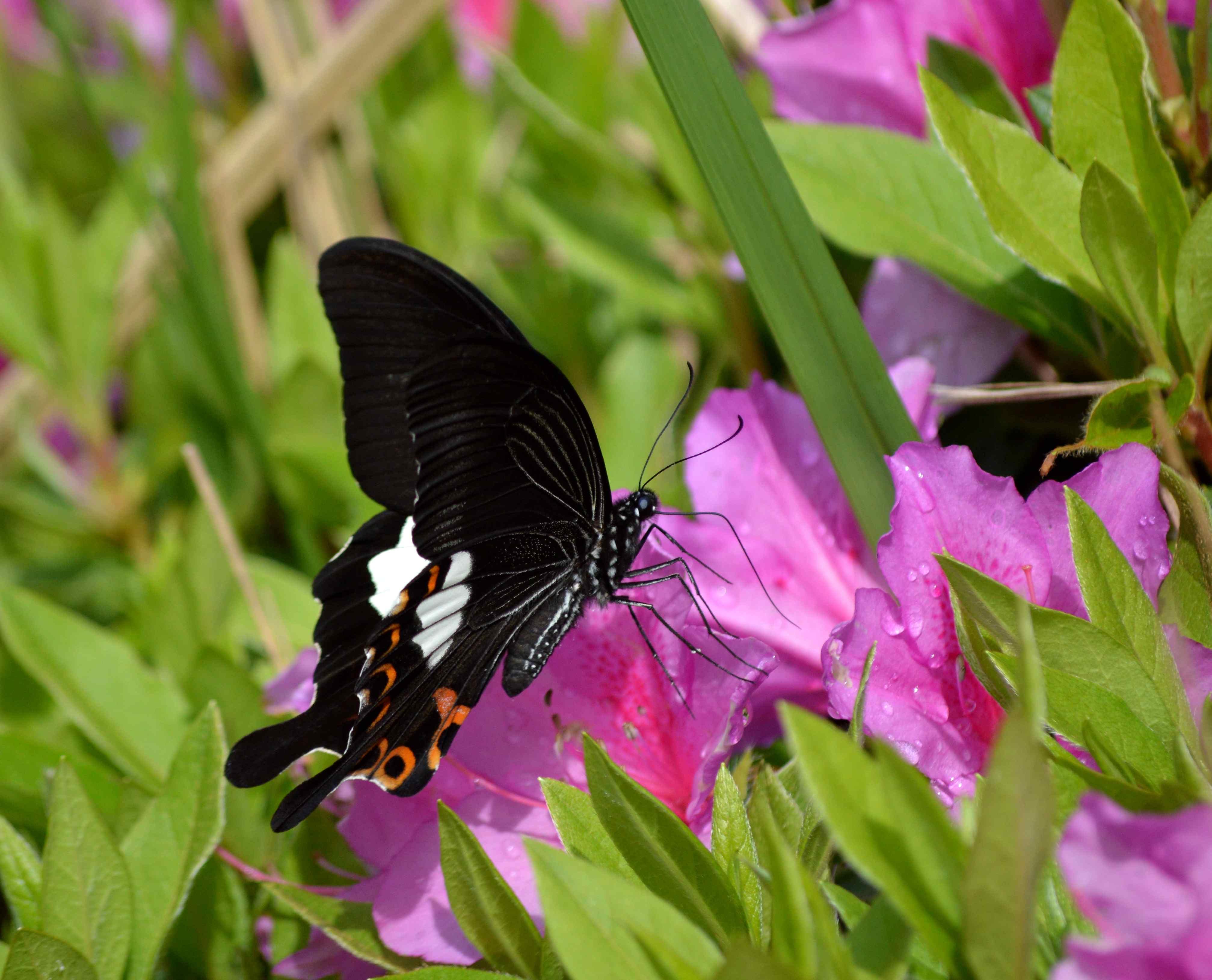 モンキアゲハ 5月2日ツツジの咲く公園にて_d0254540_17372316.jpg