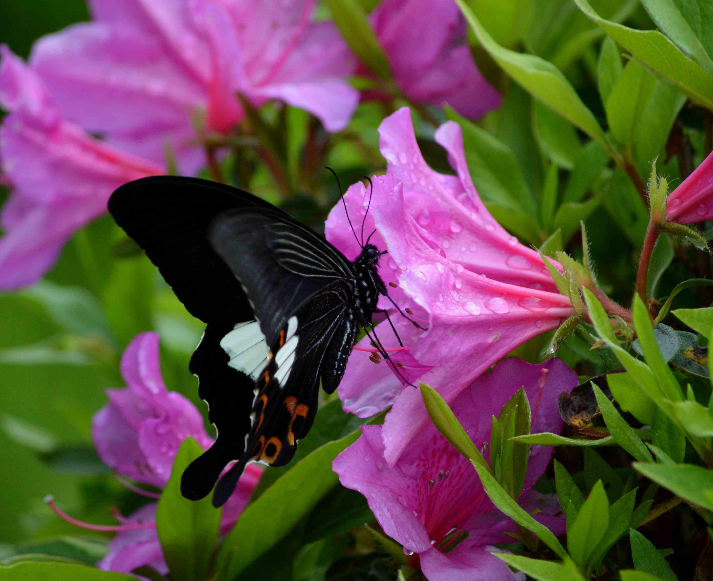 モンキアゲハ 5月2日ツツジの咲く公園にて_d0254540_1737591.jpg