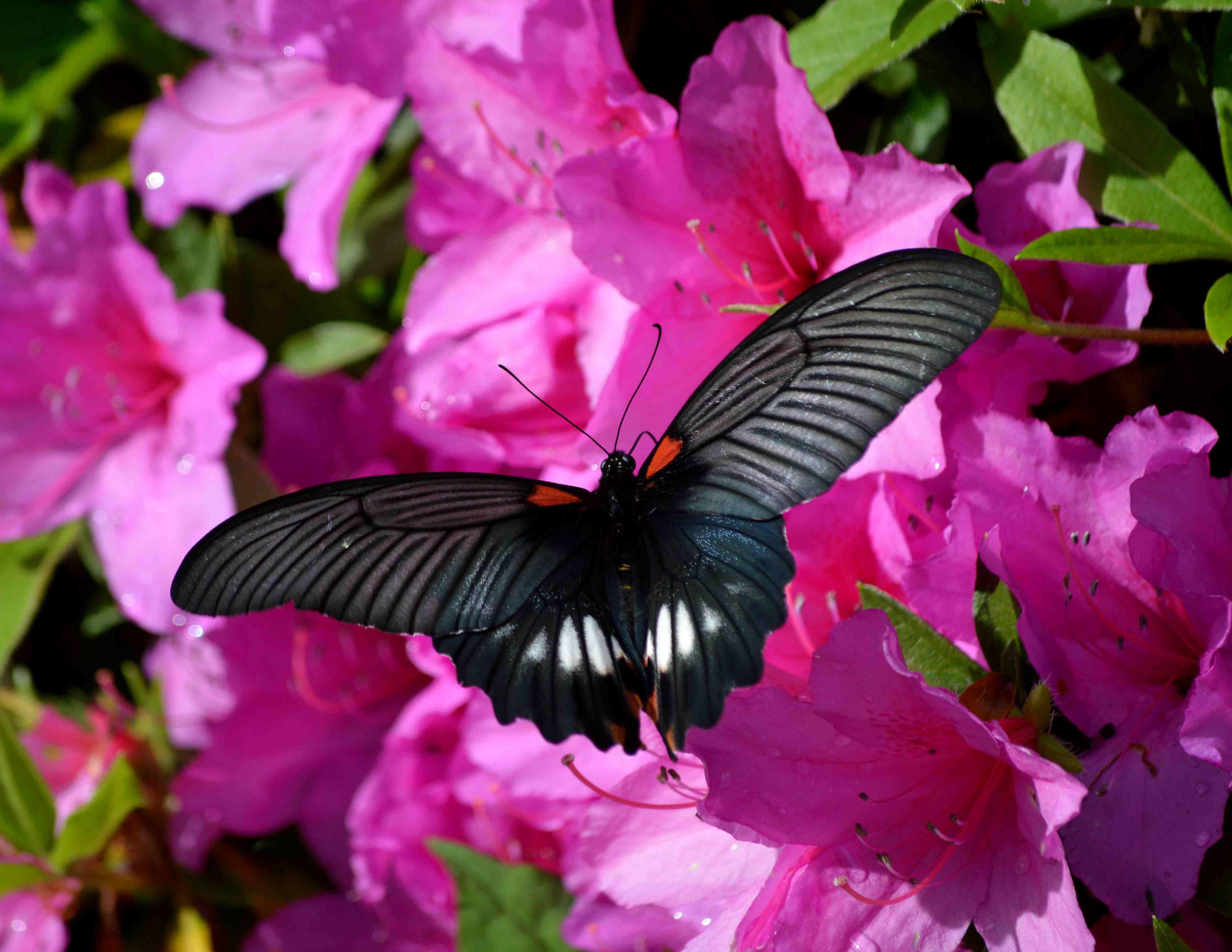ナガサキアゲハ 5月2日ツツジの咲く公園にて_d0254540_1753925.jpg
