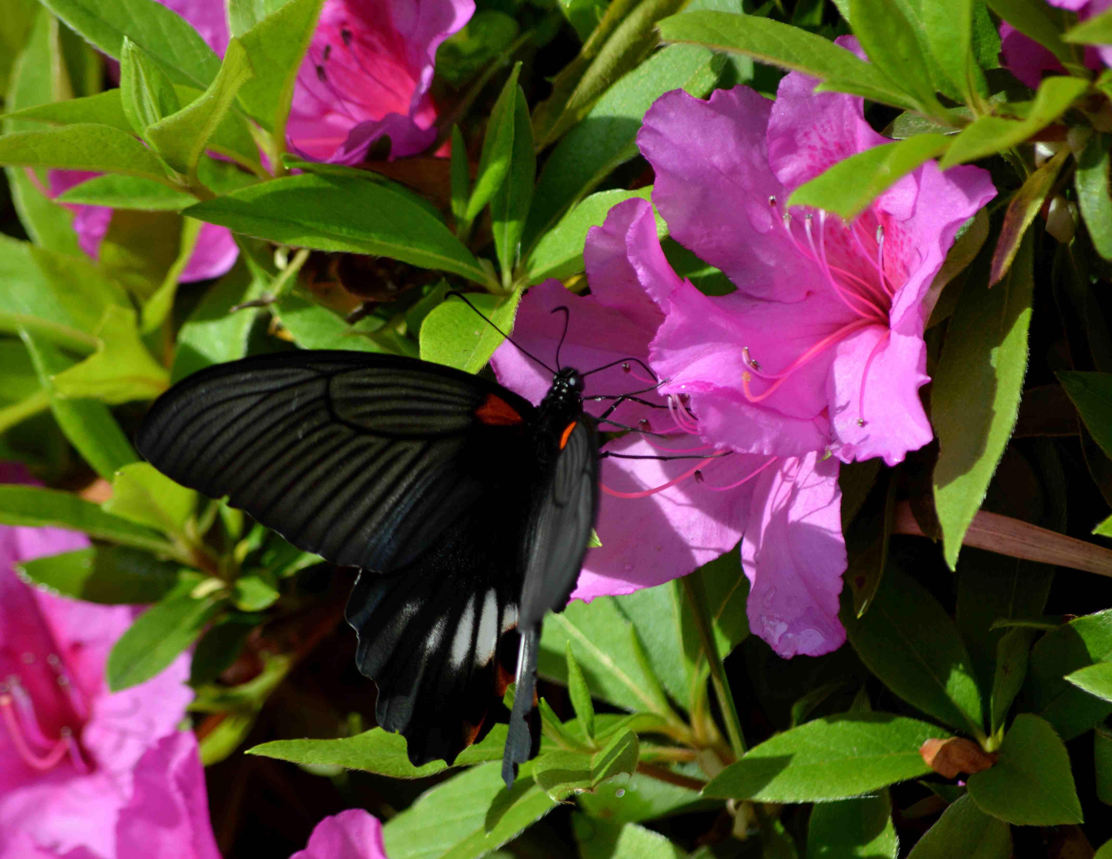ナガサキアゲハ 5月2日ツツジの咲く公園にて_d0254540_1774490.jpg