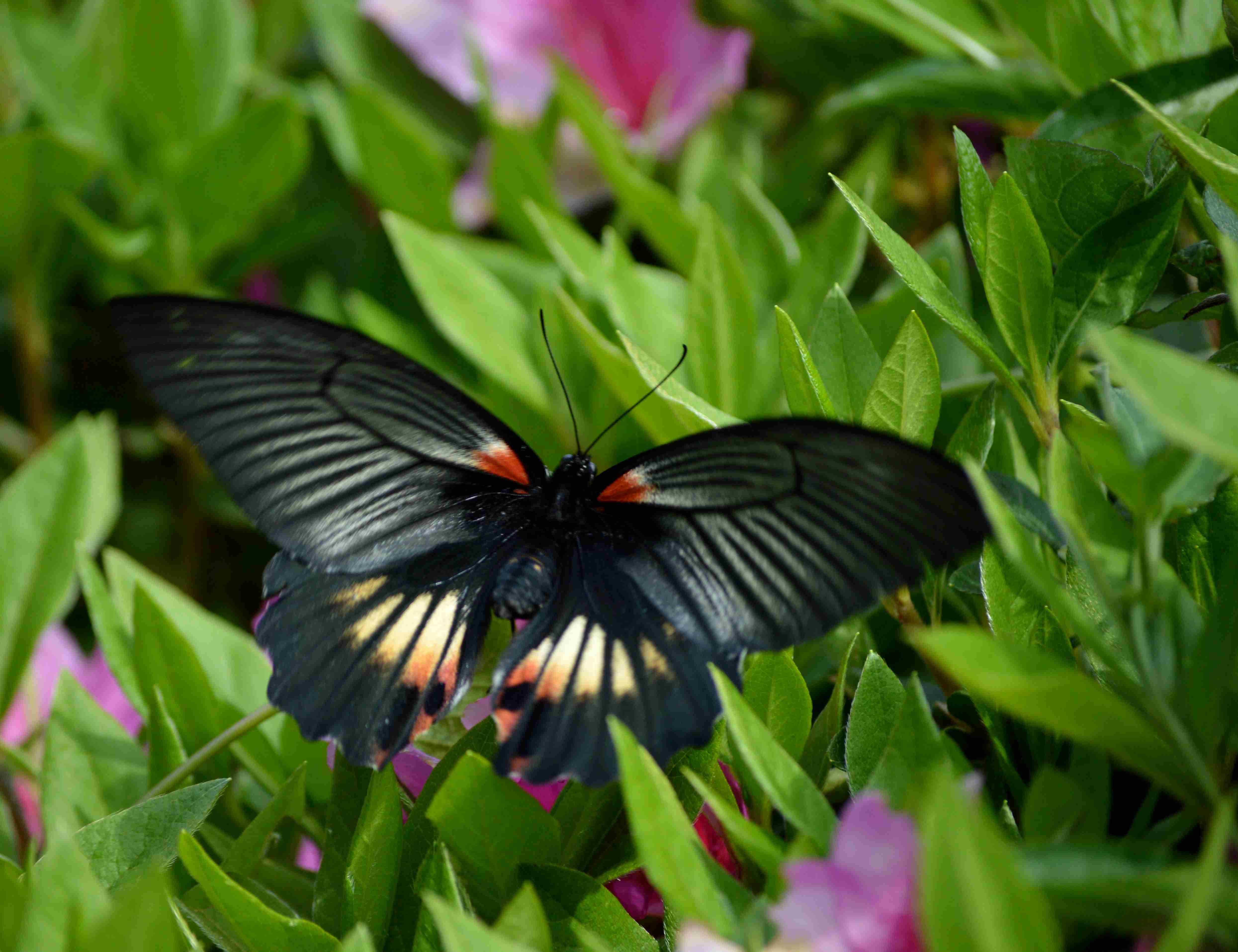 ナガサキアゲハ 5月2日ツツジの咲く公園にて_d0254540_1791932.jpg