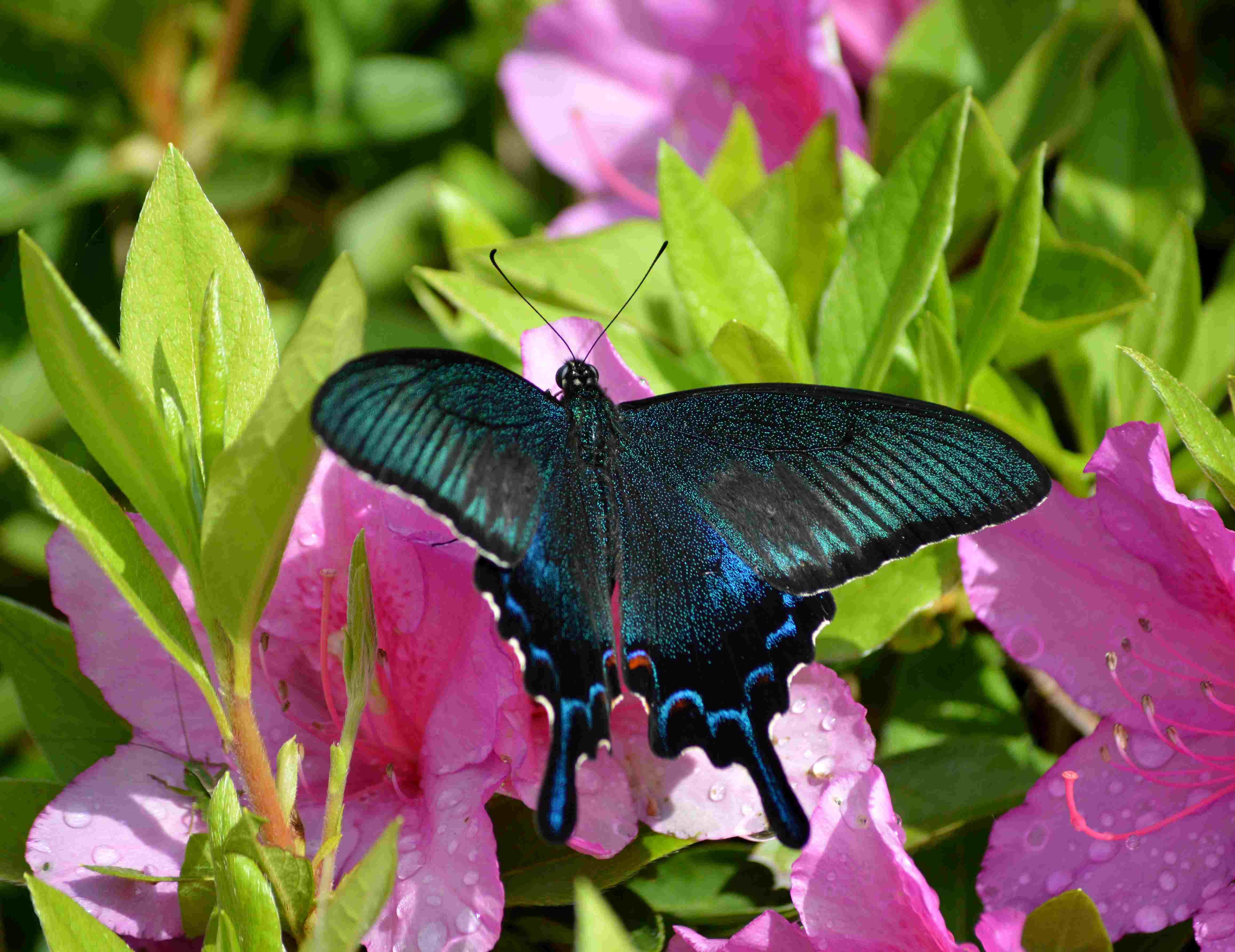 カラスアゲハ 5月2日ツツジの咲く公園にて_d0254540_18593994.jpg