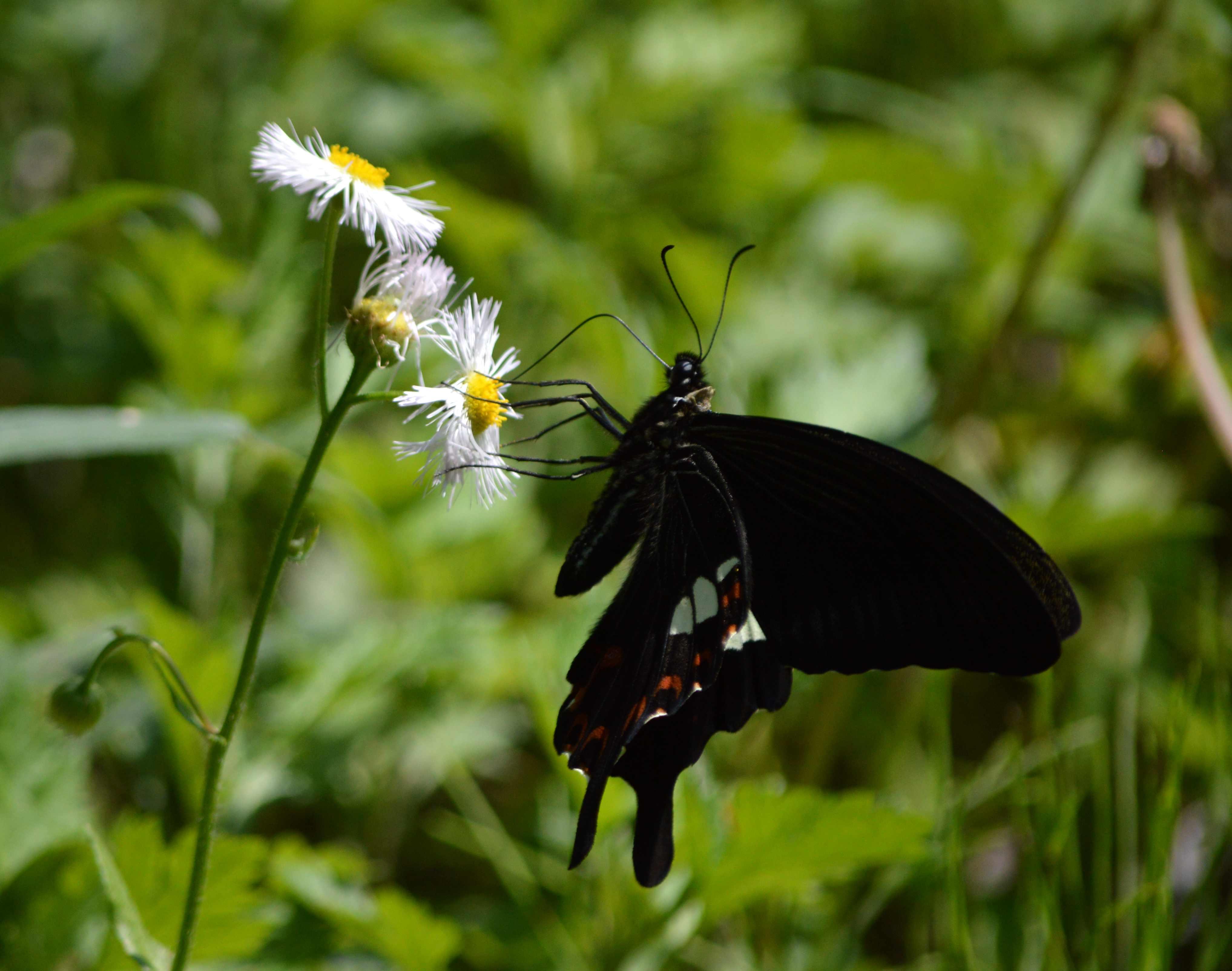 モンキアゲハ 5月2日ツツジの咲く公園にて_d0254540_5115148.jpg