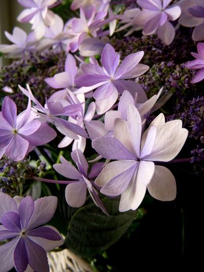 """星咲き紫陽花""""ダンスパーティ""""。。。_a0229658_1753934.jpg"""