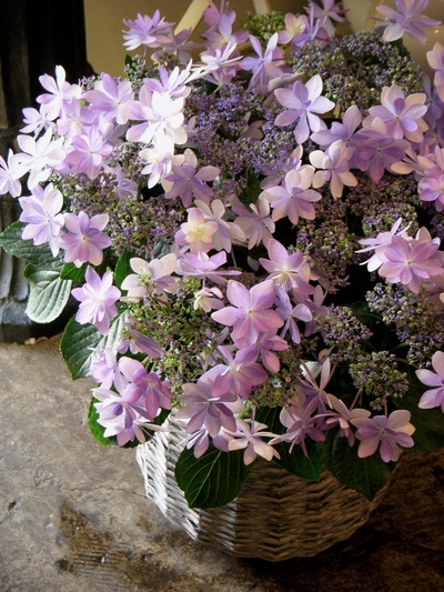 """星咲き紫陽花""""ダンスパーティ""""。。。_a0229658_1824768.jpg"""