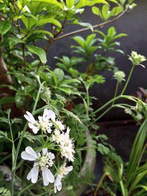 オルラヤレースの花が咲きました_e0086864_05285.jpg