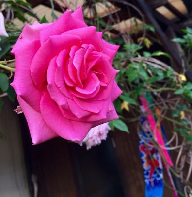 オルラヤレースの花が咲きました_e0086864_05328.jpg