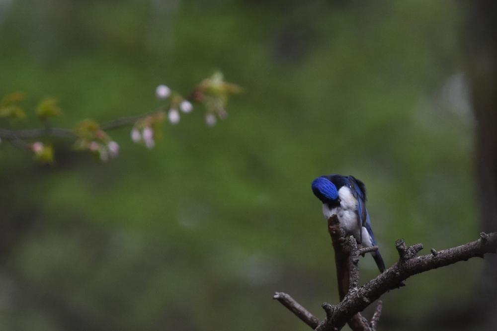 日本三鳴鳥 Ⅰ 桜にオオルリ_f0053272_2212379.jpg