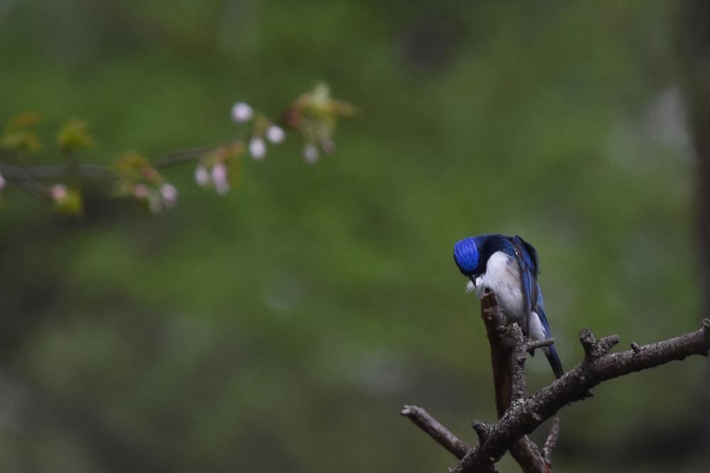 日本三鳴鳥 Ⅰ 桜にオオルリ_f0053272_221394.jpg