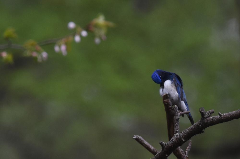日本三鳴鳥 Ⅰ 桜にオオルリ_f0053272_2263538.jpg