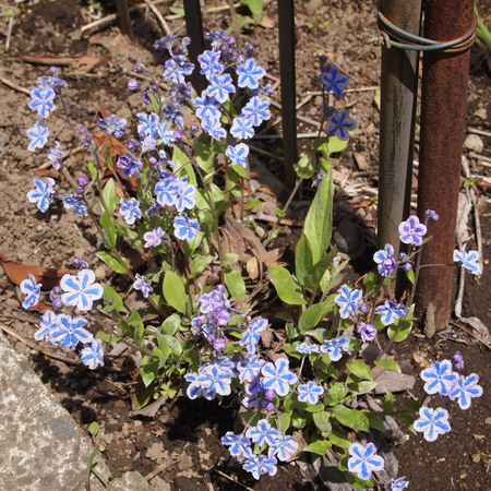 うちのオンファロデスも咲いてます_a0292194_2053631.jpg