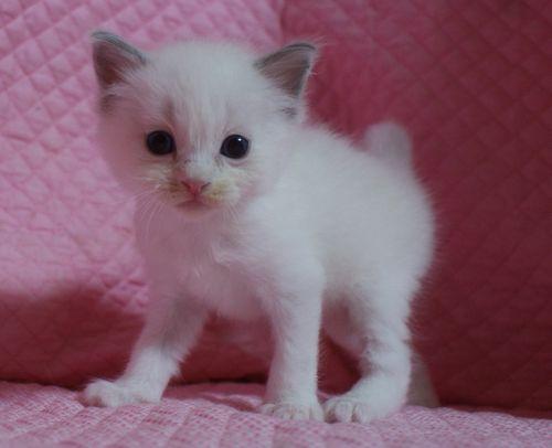 ラグドールの子猫 家族募集 4月8日生まれ_e0033609_22463989.jpg