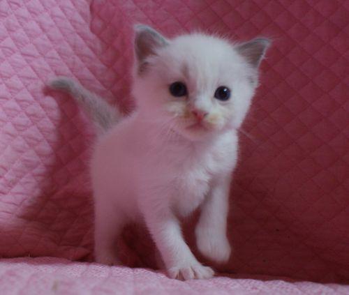 ラグドールの子猫 家族募集 4月8日生まれ_e0033609_22465283.jpg