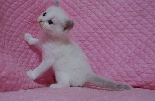 ラグドールの子猫 家族募集 4月8日生まれ_e0033609_22471714.jpg