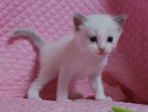 ラグドールの子猫 家族募集 4月8日生まれ_e0033609_2247688.jpg