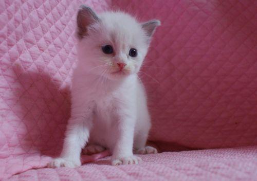 ラグドールの子猫 家族募集 4月8日生まれ_e0033609_22484962.jpg