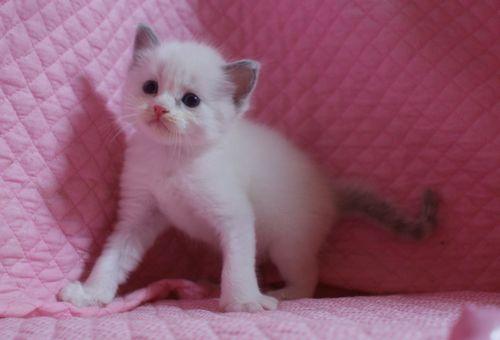 ラグドールの子猫 家族募集 4月8日生まれ_e0033609_22491651.jpg