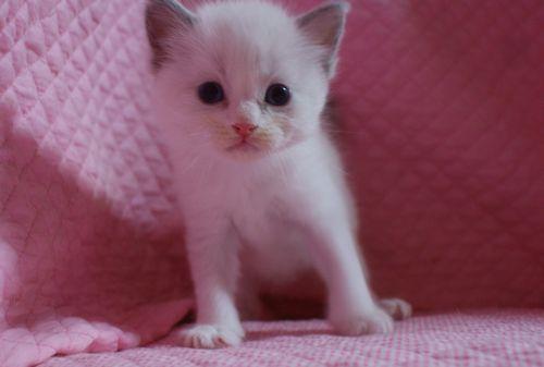 ラグドールの子猫 家族募集 4月8日生まれ_e0033609_2249542.jpg