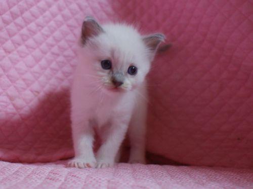 ラグドールの子猫 家族募集 4月8日生まれ_e0033609_2250227.jpg