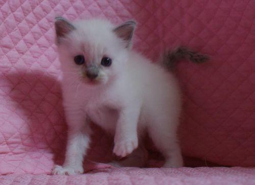 ラグドールの子猫 家族募集 4月8日生まれ_e0033609_22503573.jpg