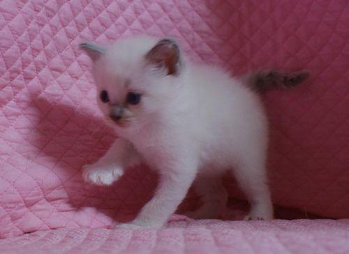 ラグドールの子猫 家族募集 4月8日生まれ_e0033609_22504670.jpg