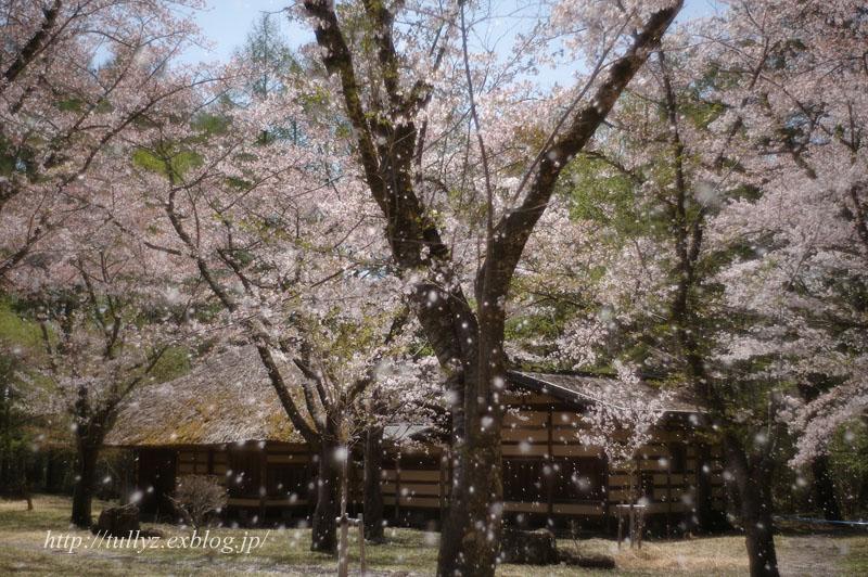 蓼科高原・聖光寺の桜(2)_d0108132_18473198.jpg