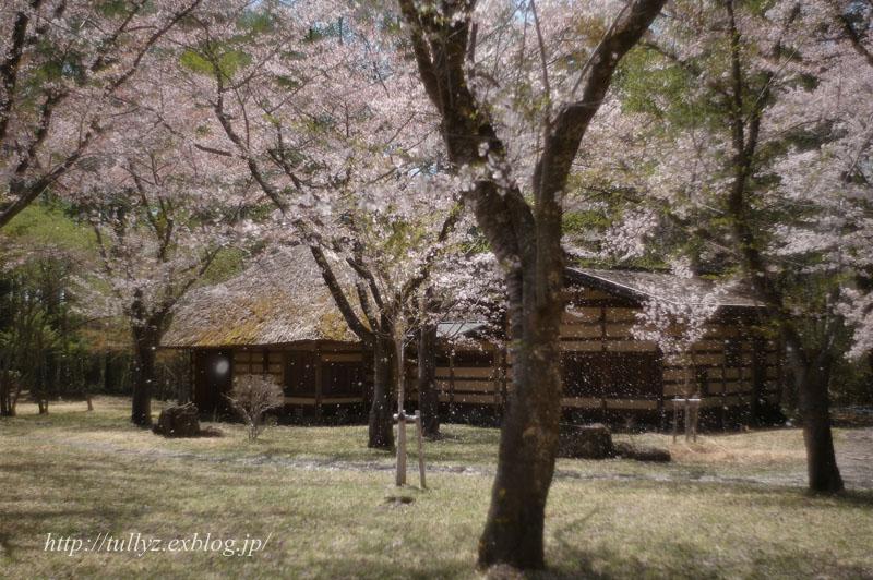 蓼科高原・聖光寺の桜(2)_d0108132_18473954.jpg